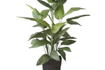 Plante Veroneau